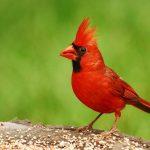 The best cardinal bird feeders