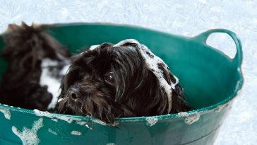 Best Antifungal Dog Shampoos for Yeast Infection