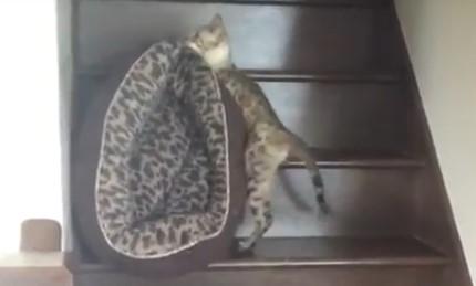 I'll sleep upstairs tonight viral cat video