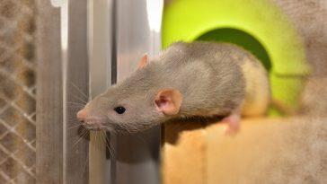Best rat cages