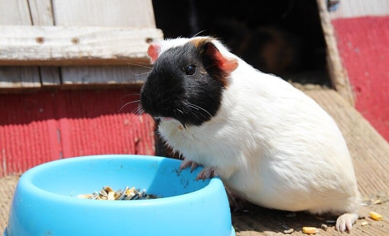 Best Guinea Pig Food: Top 5 Brands & Recommended Food Types