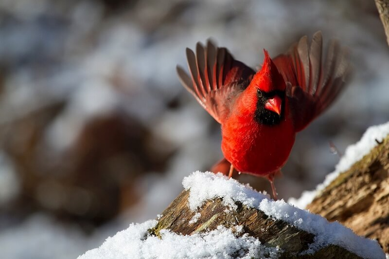 How to attract cardinals to your garden
