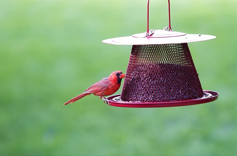 The best feeder to attract cardinals