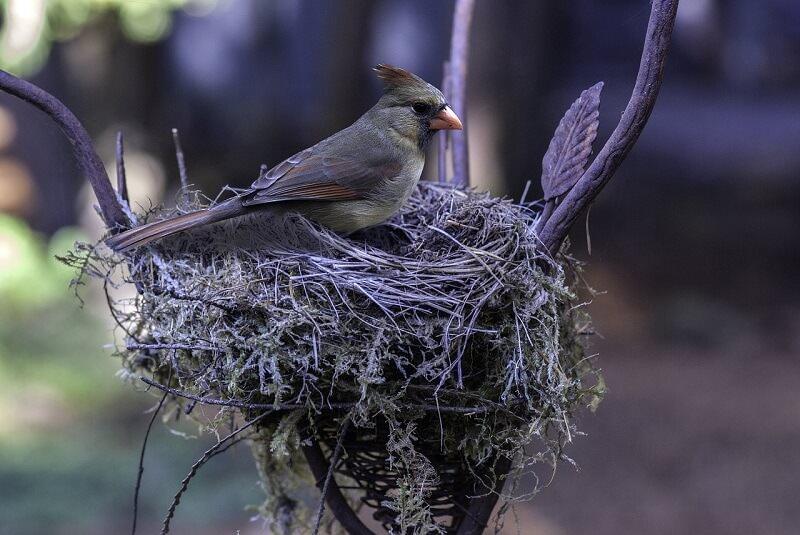 Cardinal bird nesting materials