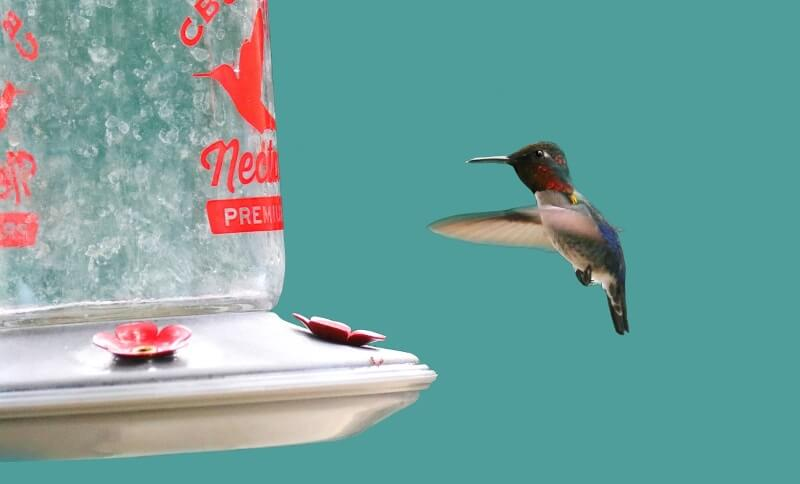 Hummingbird food FAQs