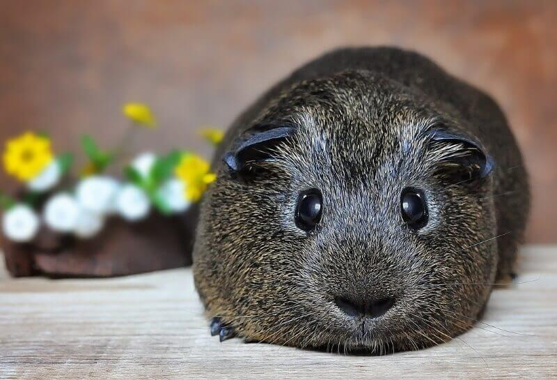 How to potty train a guinea pig in 10 steps