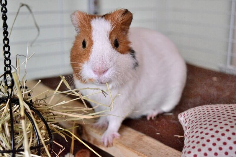 Litter / potty training your guinea pig in 10 steps