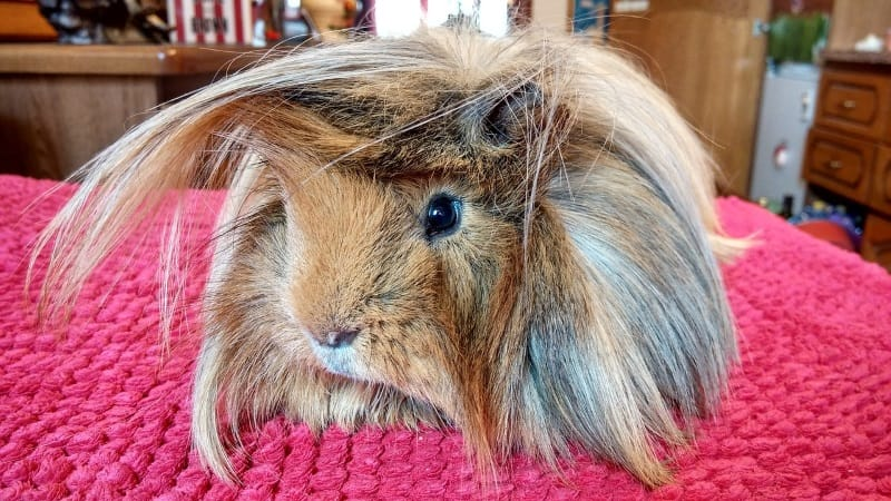 Grooming guinea pigs: Brushing their hair