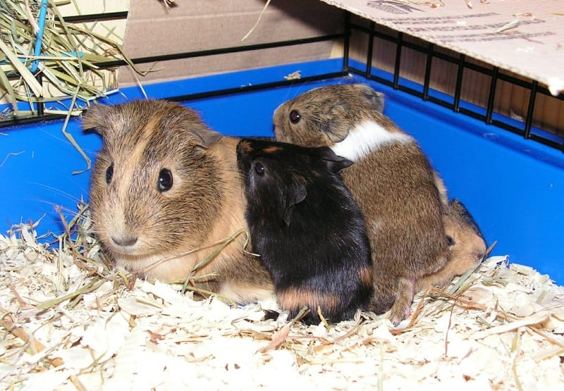 A step by guide on how to clean guinea pig cage