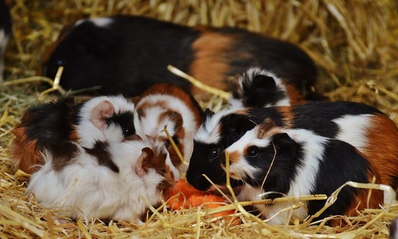 Guide to introducing guinea pigs