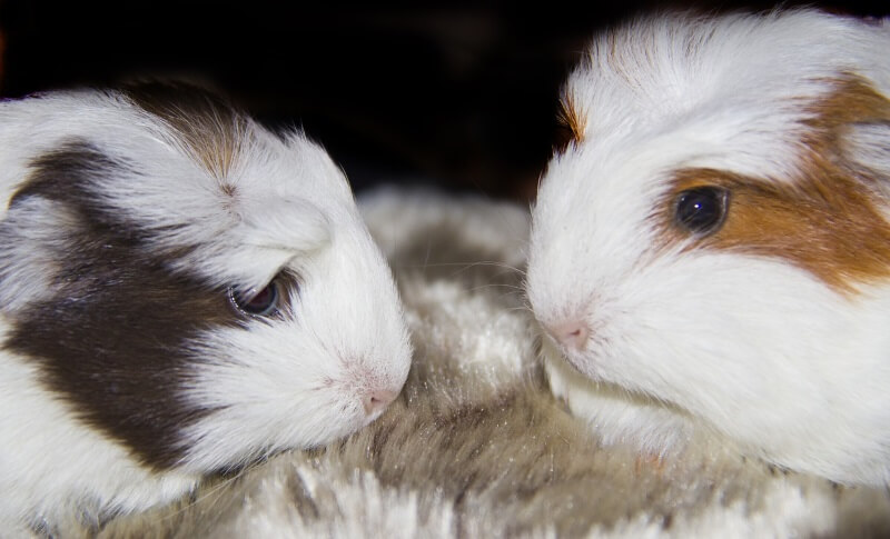 A guide on introducing guinea pigs