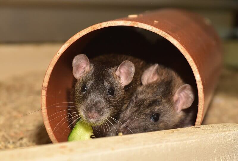 Understanding rat behavior: Is it aggression or play?