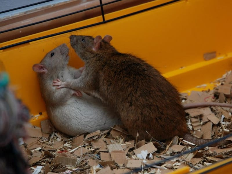 Rat behavior - is it aggression or play