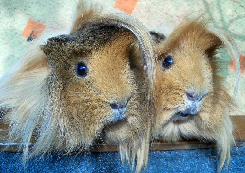 Guinea pig grooming guide: Trimming their hair
