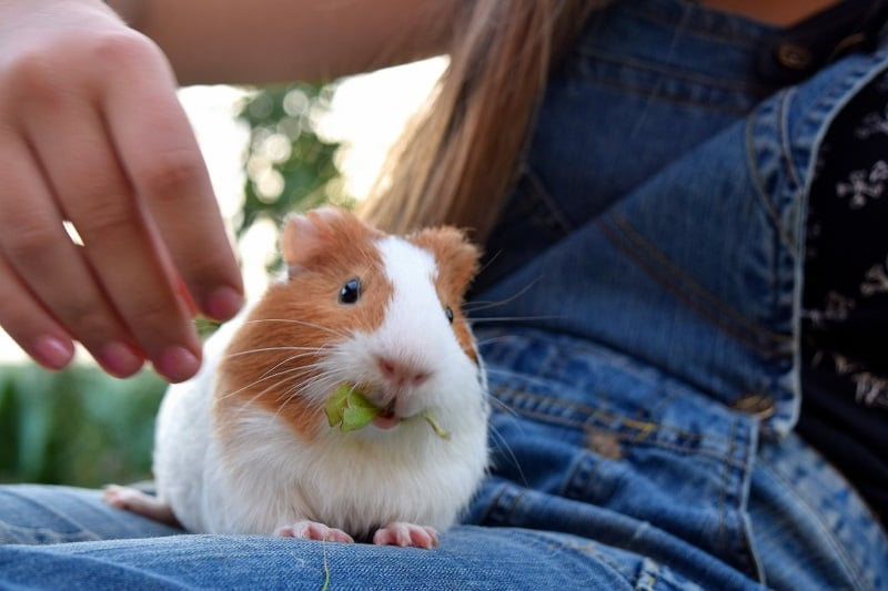 Spend time with your guinea pigs every day to make them happy