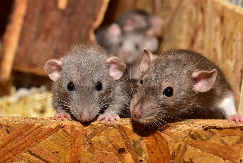 Can rats live alone?