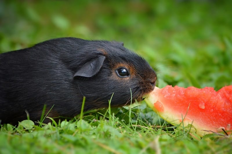 Make guinea pig happy with healthy treats