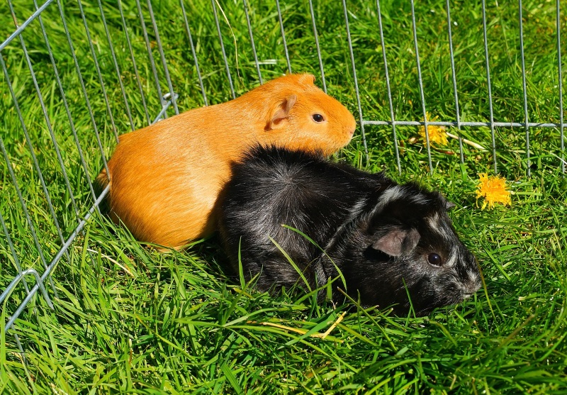 Making guinea pigs happy: bring them outside in a fenced yard