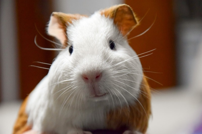 Animallamal Make your Guinea Pig Happy