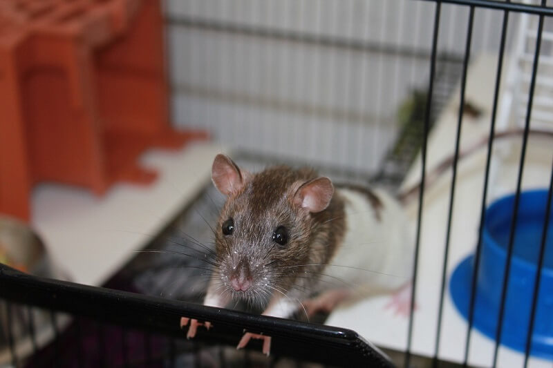 Guide to potty training your rats