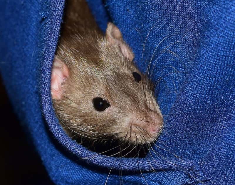 Bonding with your shy rat by tucking them down a baggy top