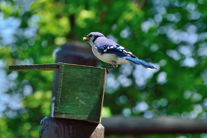 Feeding Blue Jays