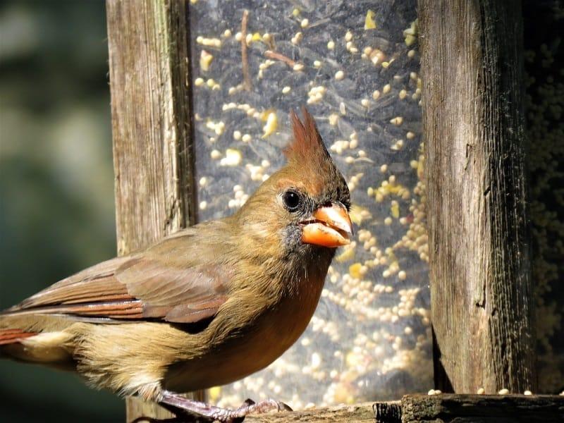 Cardinal bird feeding from the feeder