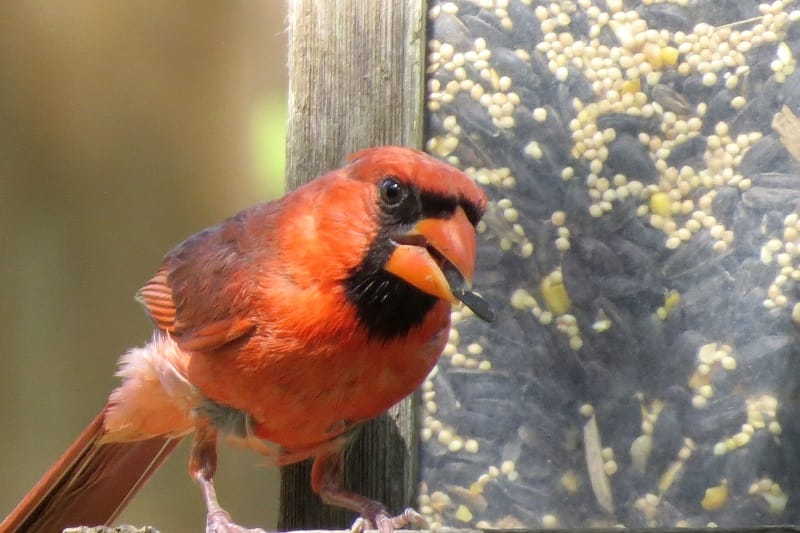 Feeding Cardinal birds to nuts and seeds