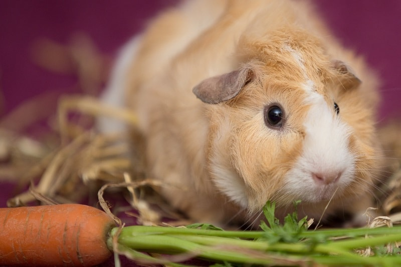 Feeding guinea pigs to vegetables