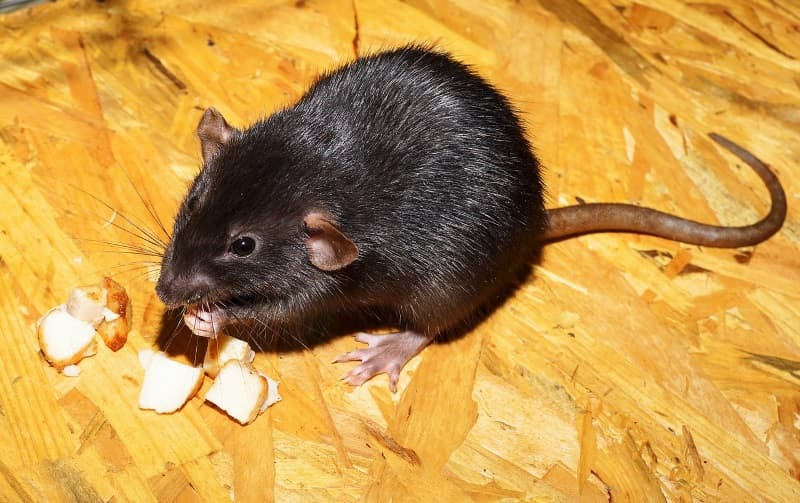 Tips on how to feed pet rats
