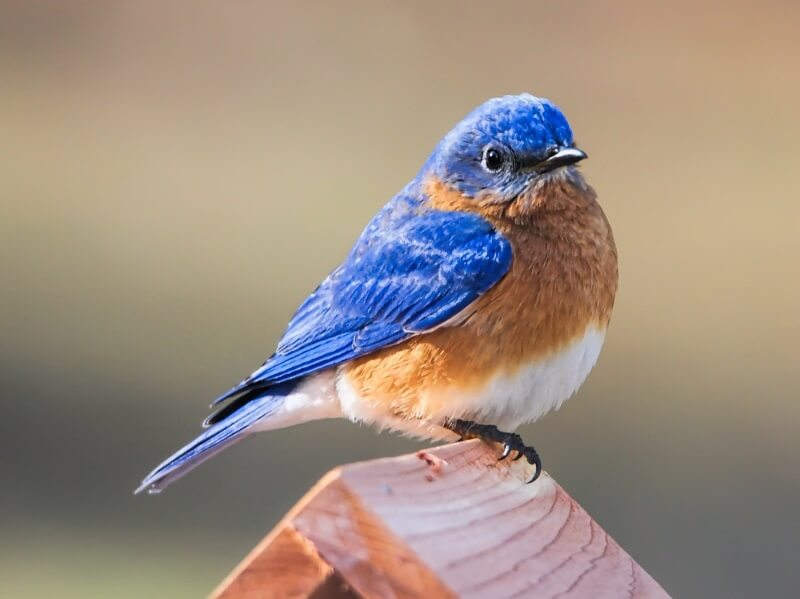 How to Attract Bluebirds to Your Yard
