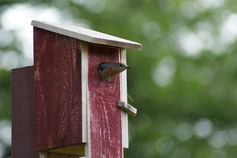 Bluebird nesting sites