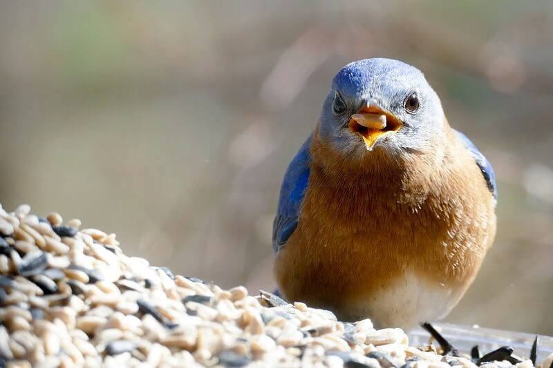 What do Bluebirds like to eat?