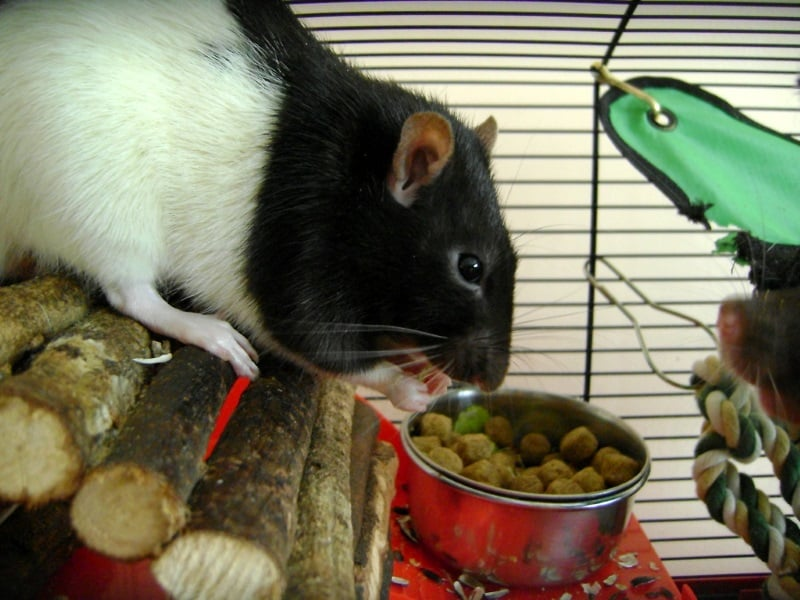 Rat cage accessories for eating