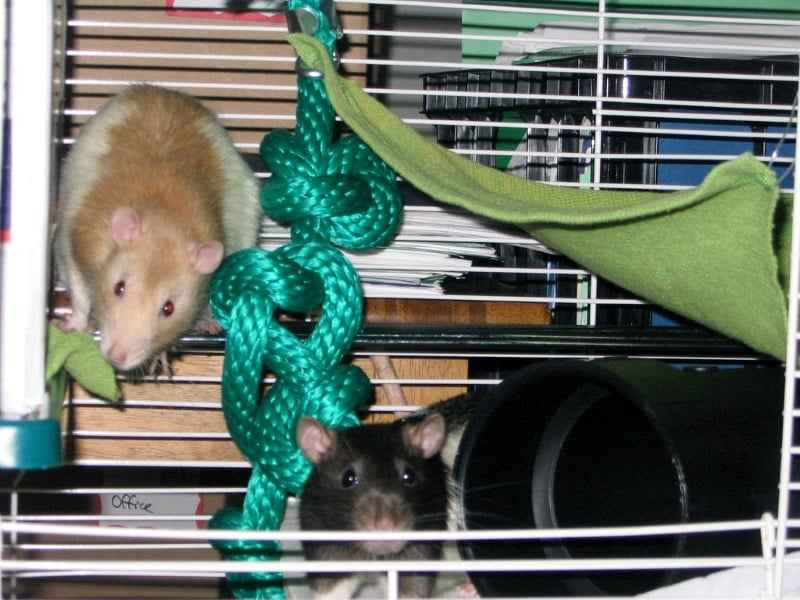 Rats need lots of places to play in their cages