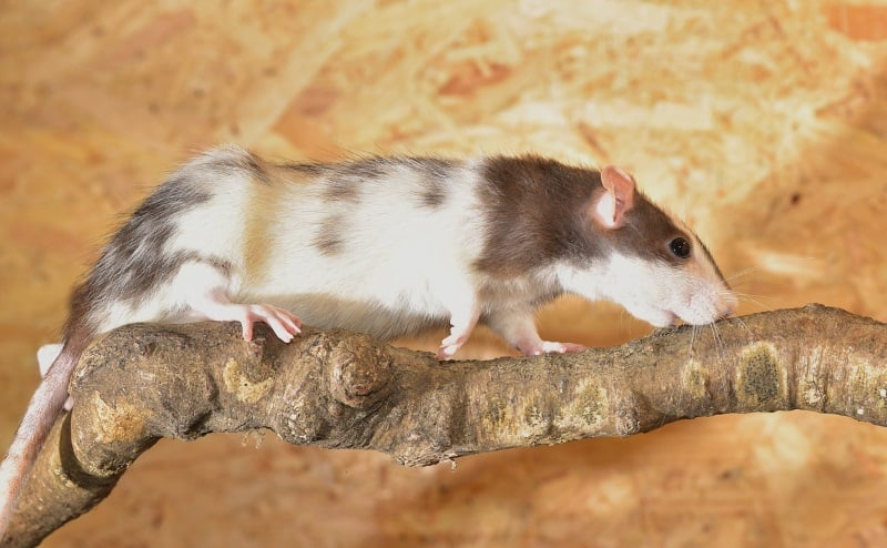 10 Pet Rat Facts