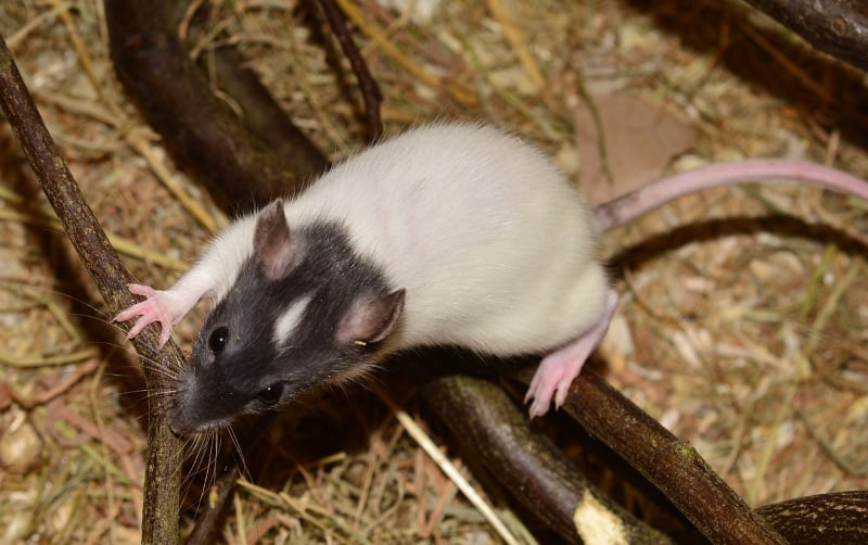 Rats use their tails as a fifth limb