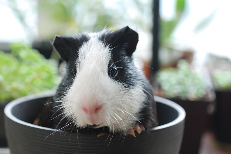 300+ Adorable Guinea Pig Names For Your New Piggy Pal(s