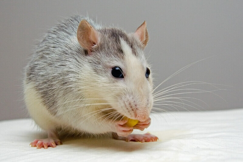 Food as entertainment for rats