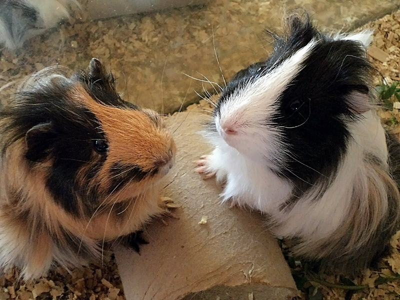 Entertaining guinea pigs with stuffed tubes