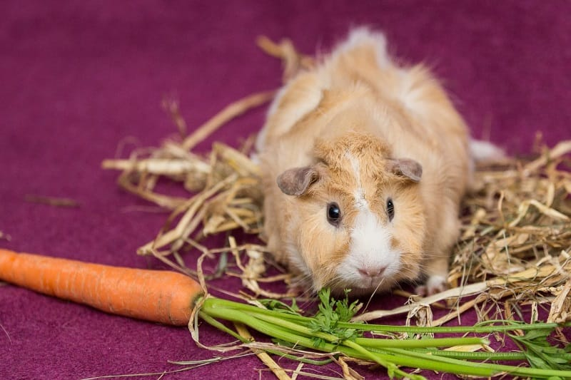 Guinea pig care - Diet