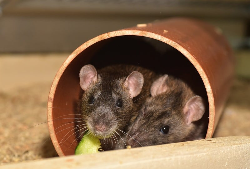 Use tunnels to entertain rats in their cage