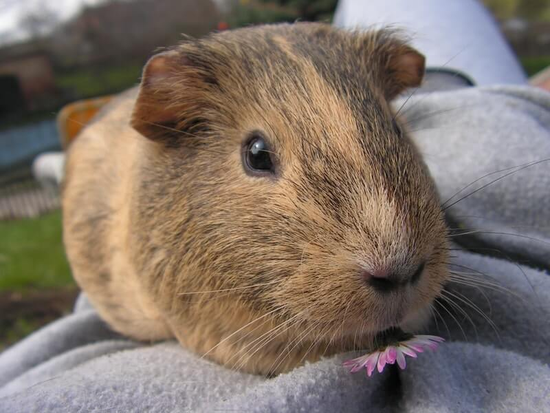 Entertaining your guinea pigs