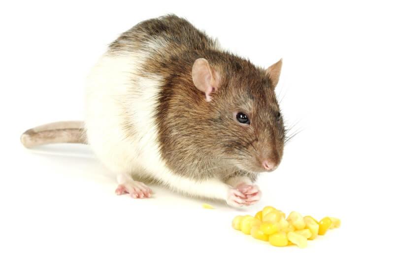 Best rat treats