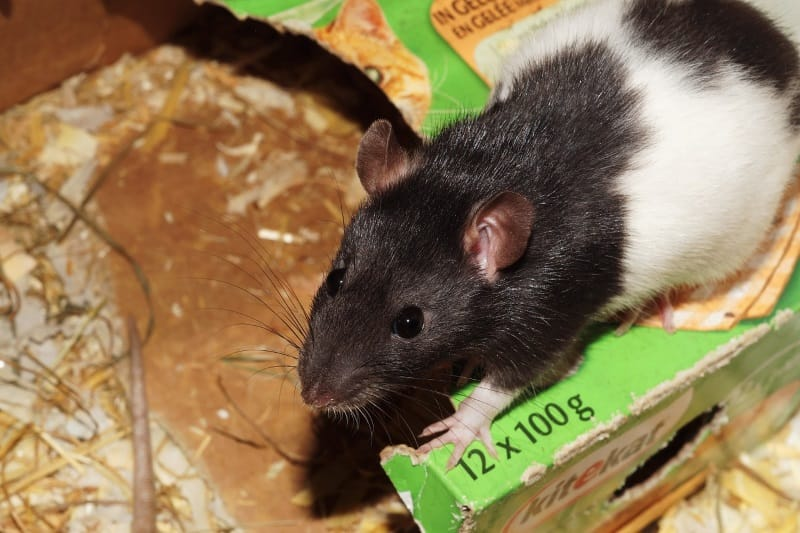 Cardboard boxes as rat toys