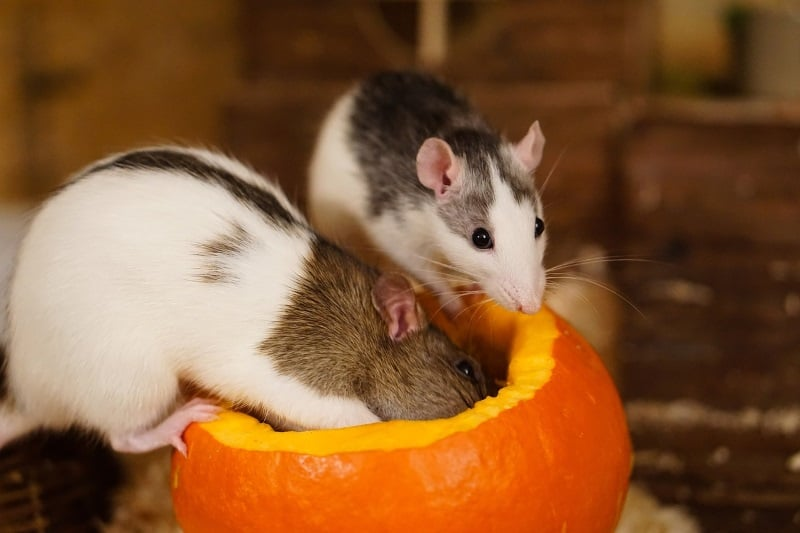 Food toys for rats