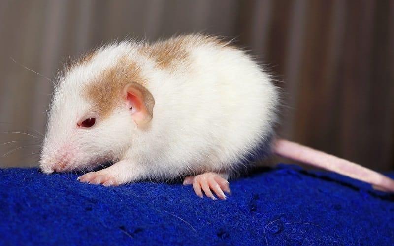 Best Rat Toys