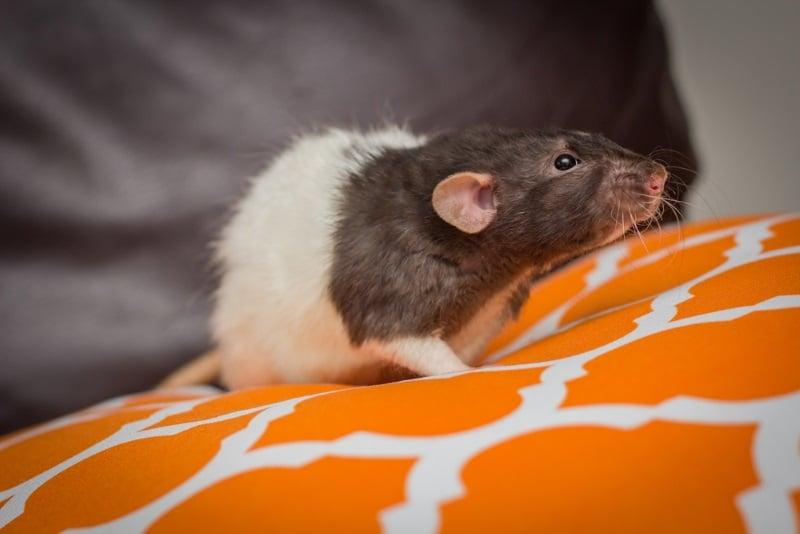 Dumbo rat variety