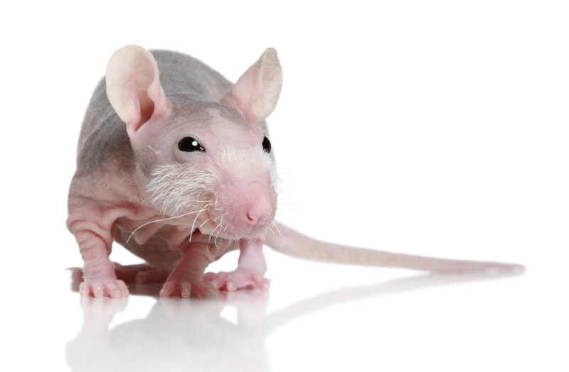 Sphynx rat (hairless)