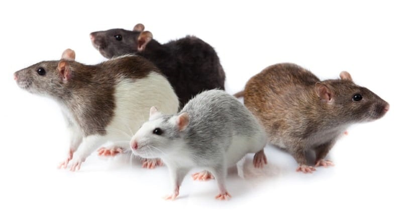Pet rat colors